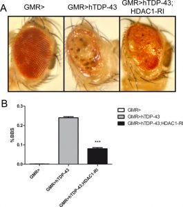 HDAC1 inhibition ameliorates TDP-43-induced cell death in vitro and in vivo.